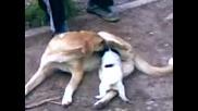Кучета Се Лижат