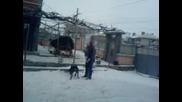 Ротвайлер си играе в сняг 2