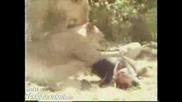 Video - Wild Lions Eat Man Alive - Toxicjunction.com