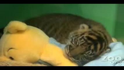 Бебе Тигър - Голям Сладур