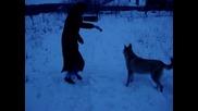 Varg-na 8.5 mes. 50% wolf 50% zapadno sibirska laika