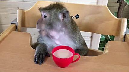 Маймуна яде като човек