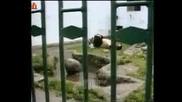 Крадливата Панда