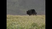 kavkaska ovcharka