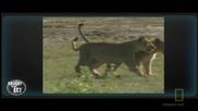Лъвици се борят за малките си
