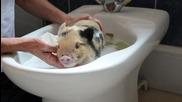 Малко прасенце си взема баня в мивката.