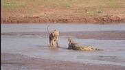 Лъвове срещу крокодил