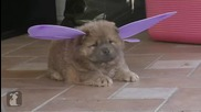 Красиво кученце от породата Чау-чау маскирано като пеперуда