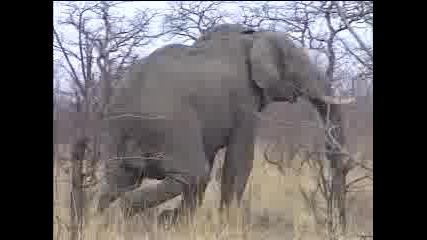 Лов - Слон 2