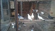димитър марков гълаби 1