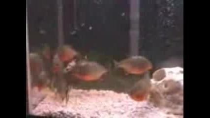 Червени Пирани Се Хранят С Мишка