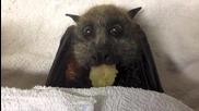 Прилеп яде грозде