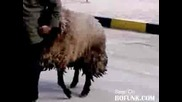 Овца напъва старец!!!