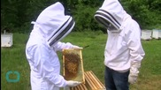 White House Makes Bid to Save Honeybees but Ignores Toxic Pesticides