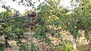 Натежали от плод със сини кайсии дръвчета