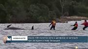 Около 100 пилотни кита и делфина са загинали при засядане в Нова Зеландия