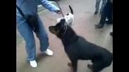 Улична котка сдухва ротвайлер!!!