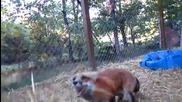 Игриво лисиче се забавлява със стопанина си