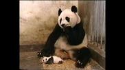 Панда се стряска