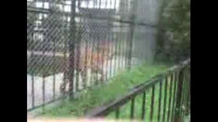 Тигър В Зоопарк