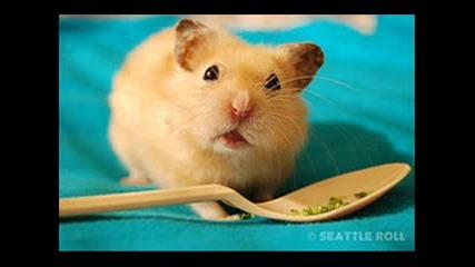 Funny Hamster - Hamster Dance