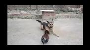 Весело куче и побеснял петел в битка - много смях