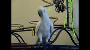 Папагалчето Jazzy танцува на любимата си песен