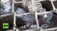 Индонезия: Две бенгалски тигърчета, бяло и оранжево се родиха в зоологическата градина в Бали