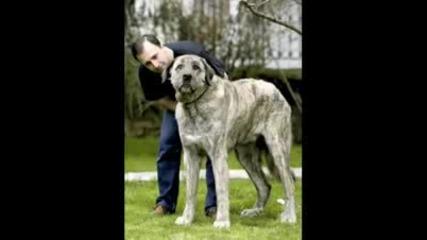 Най големите кучета . . .