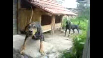Български гончета - Черкез и брат му!
