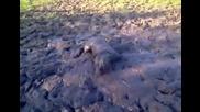 Куче си прави кална баня като свиня.