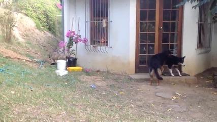 Промъкващо се лъвче изкарва акъла на куче