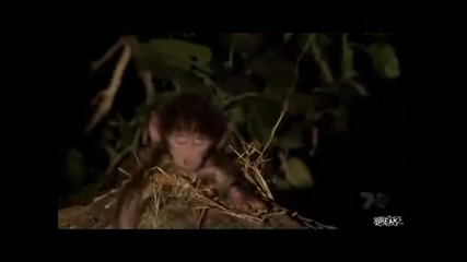 Леопард спасява бебе павианче