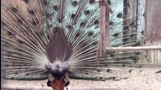 Пауни Се Перчат С красиви разперени пера