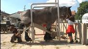 Подрязване на копитата на голям Белгийски кон