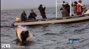 Страховита Бяла Акула атакува тюлени ! Опасно близо !