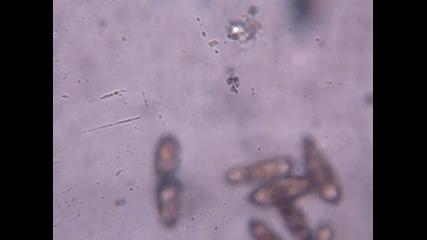 Деление на Paramaecium (чехълче)