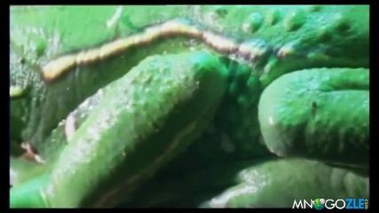 Жаба Маймуна - Луд вид земноводно