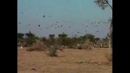 Сериозно намалява броят на лешоядите в Индия
