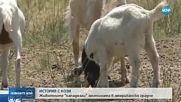 Повече от 100 кози се появиха изненадващо в американския град Бойзи
