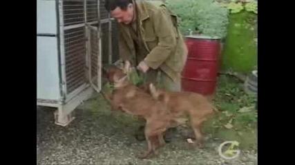 Свински Лов На Гонка В Италия