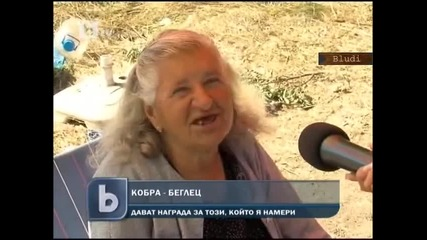 Огромна 2м. кобра избяга край пътя София - Кулата до Дупница