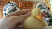 Най- чаровното малко жълто патенце!