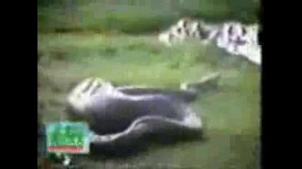 Змия Изплюва Хипопотам
