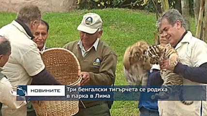 Три бенгалски тигърчета се родиха в парка в Лима