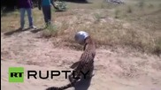 India: Wild leopard gets its head jammed in pot