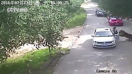 18 + Тигри атакуват хора в Зоологическа градина в Пекин