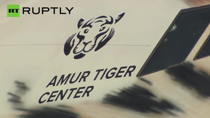 Endangered Siberian Tiger Roars through the Skies on this Airplane