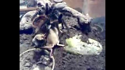 Голяма Тарантула Напада Мишка