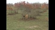 Антилопа надхритрява Хиена и Гепард